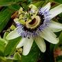 Passiflora_caerulea_2_
