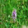 Spotted Orchid  at Askham Bog   July 2015