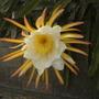 Dragon Fruit Vine Flower (Hylocereus undatus) (Hylocereus undatus)
