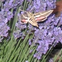 Spinx moth in the Lavender