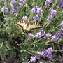 Swallowtail Butterfly having lunch