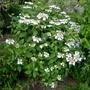 Hydrangea_macrophylla_lanarth_white_2015