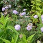 Scabious 'Butterfly Blue' for my records (Scabiosa columbaria (Driakiew))