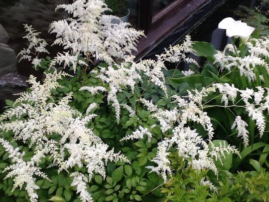 Frothy white astilbe.  (Astilbe)