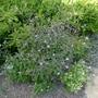 Verbena officinalis var grandiflora 'Bampton' - 2015 (Verbena officinalis)