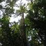 Looking up the Douglas fir ( Pseudotsuga menziesii) (Pseudotsuga menziesii)