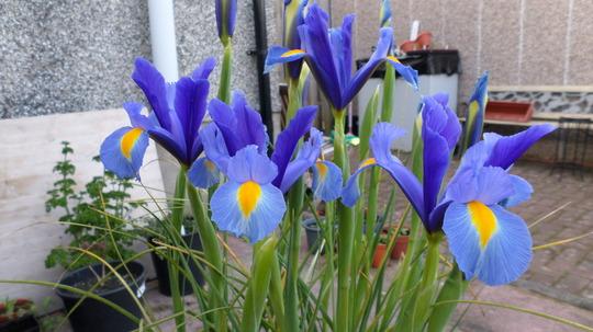 Iris 'Sapphire ' Jun 2015