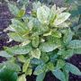 acuba japonica (Aucuba japonica 'variegata')