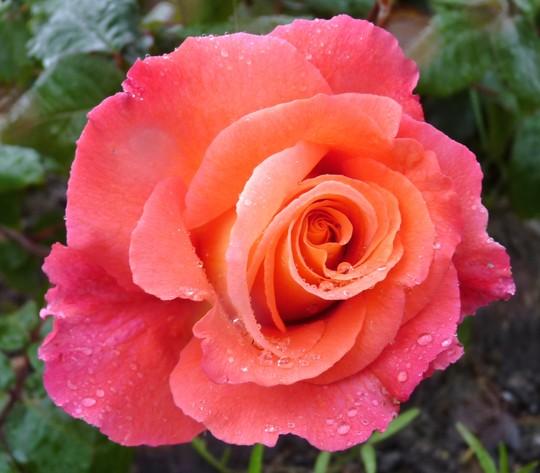 Climbing Rose 'Sunrise'