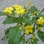 Jasminum humile 'Revolutum' (Jasminum humile (Yellow jasmine))