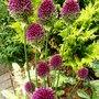 Allium_sphaerocephalon