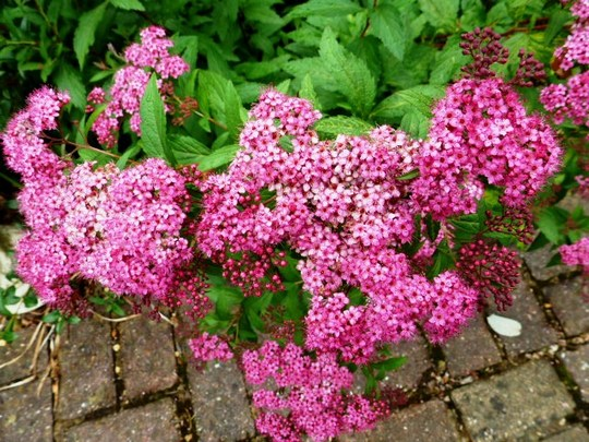 Spiraea ....   Anthony Waterer ...