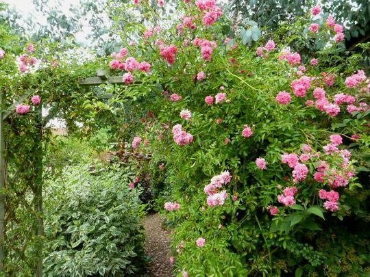 Rose ....  Dorothy Perkins