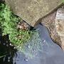 New pond plants! (Oenanthe javanica)