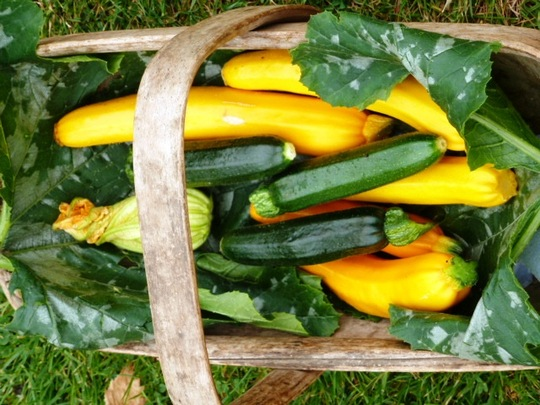 Courgettes mixed  ..  Yellow Goldrush ,Green Bambino