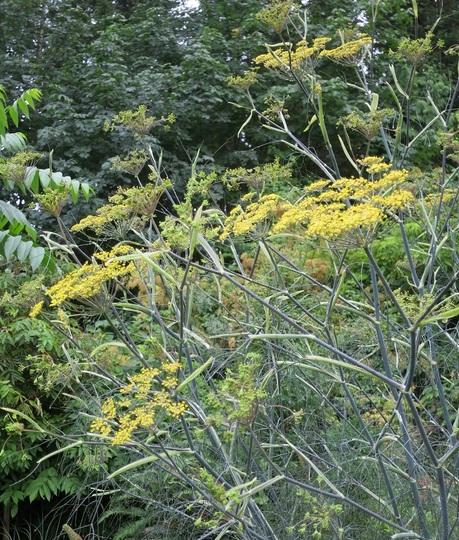 Foeniculum vulgare 'Purpureum' (Foeniculum vulgare 'Purpureum')