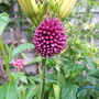 Small Allium