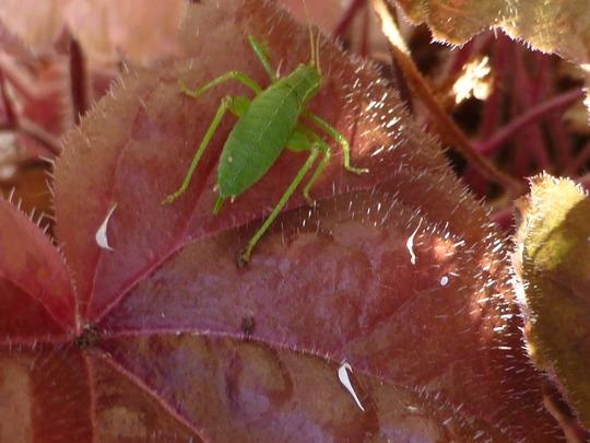Green grasshopper (I think)