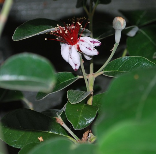 At last the Acca is flowering!! (Acca sellowiana.)