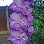 Large purple Gladi (Gladiolus communis (Gladiolus))