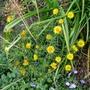 Buphthalmum salicifolium - 2015 (Buphthalmum salicifolium)