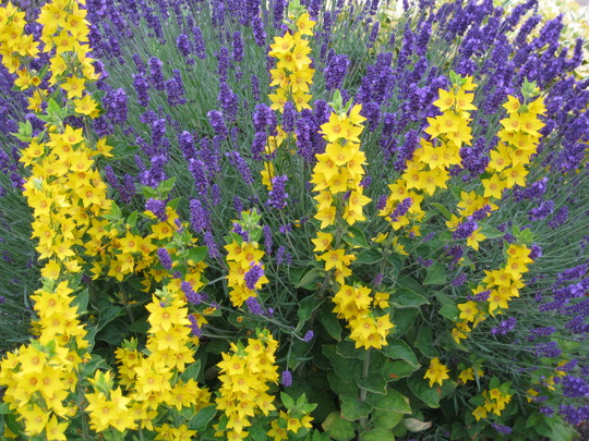Lavender and Lysimachia..