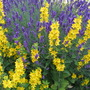 Lavender and Lysimachia..