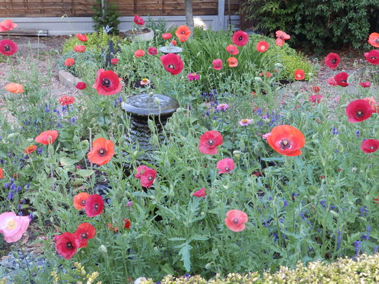 poppies and fountain