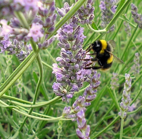 Bee enjoying the lavender.
