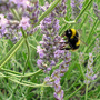 Bee enjoying the lavender.