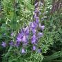 Campanula rapunculoides 'Campbell Blue' (Campanula rapunculoides)