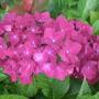 Hydrangea macrophylla 'Hot Red Velvet' (Hydrangea macrophylla)