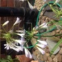 """Agapanthus """"Silver Baby"""""""