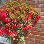 16 inch basket, Million kisses devotion (begonia)