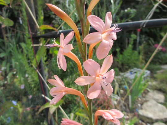 Watsonia pillansii 'Apricot' (Watsonia pillansii)