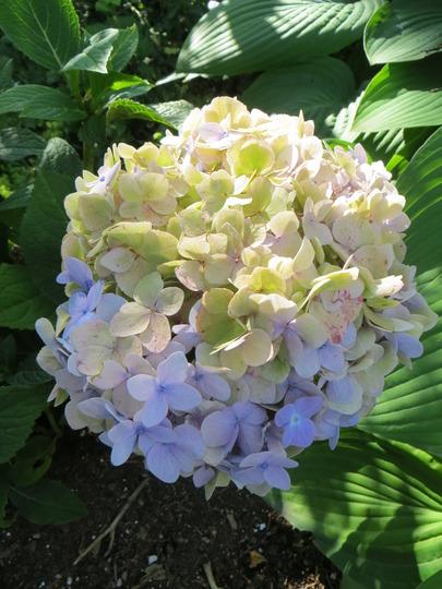 hydrangea endless summer (hydrangea macropylla)