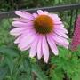 Pink Echinacea for Katarina. (Echinacea)