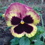 Winter Pansy (viola)