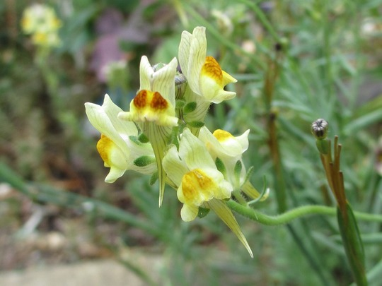 Fairy Bouquet toadflax (Linaria maroccana (Baby Snapdragon))