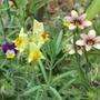 Dwarf  plants, Sisyrinchium (Sisyrinchium biscutella)