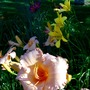 Light Coral frilly Day Lily