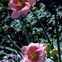 Day Lily in Shade garden