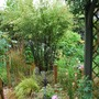 Black bamboo in the wet!! (Phyllostachys nigra)