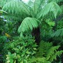 Dicksonia antarctica (Soft tree fern)