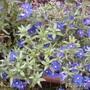 angalis blue pimpernel (angalis blue pimpernel)