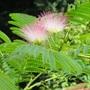 Albizia julibrissin (Persian Silk tree)'E.H.Wilson'