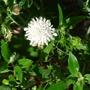 Knautia arvensis f. albiflora - 2015 (Knautia arvensis)