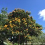 Spathodea campanulata 'Aurea' - Golden-Yellow African Tulip Tree Flowering in Balboa Park, San Diego, CA.  (Spathodea campanulata 'Aurea' - Golden-Yellow African Tulip Tree)
