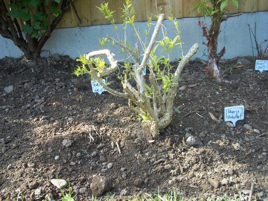 shrub 6
