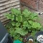 Rhubarb_150720_9_